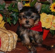 cute  teacup yorkshire terrier puppies for sale.
