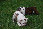 Two Purebred English Bulldog Puppies For Adoption
