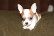 Two female Chihuahua's looking for sweet home