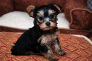 YORKIE PUPPIES READY TO GO